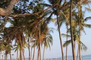 Coconut trees, Pasir Ris