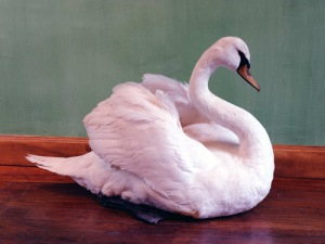 Swan, Deyrolle