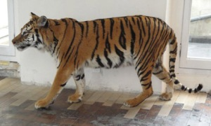 Tiger, Deyrolle