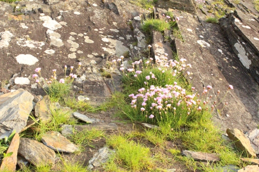 Flowers on slate, Northern Wales