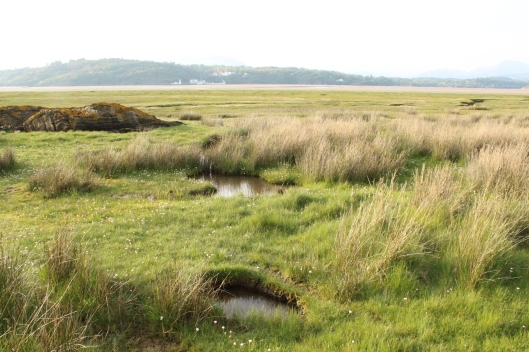 Marsh grasses, Northern Wales