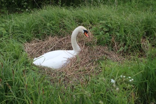 Our next door neighbour in her nest