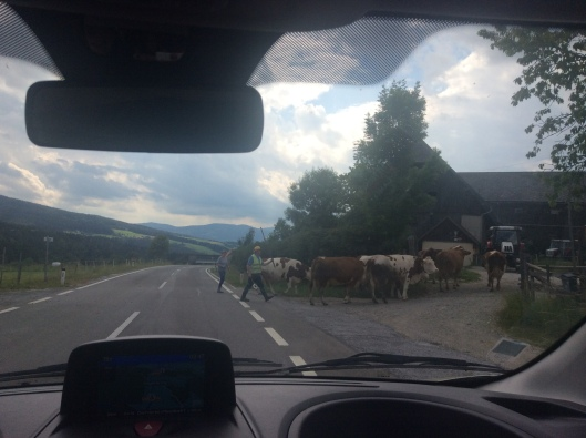 We had to stop for these cows to cross the road.