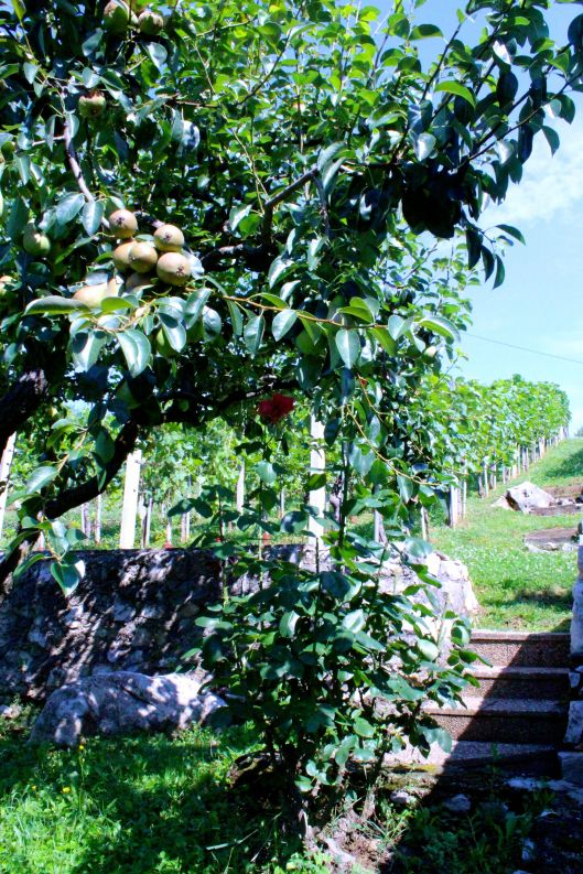Pear tree with grape vines in background