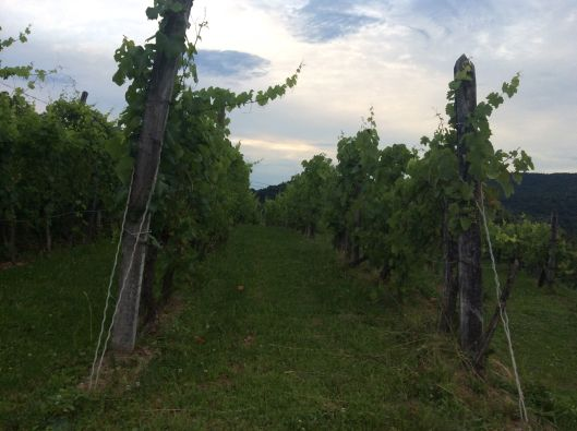 Vines with internet connection, Slovenia