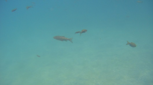 Fish seen while scuba diving - maybe Rogers and Floppy?