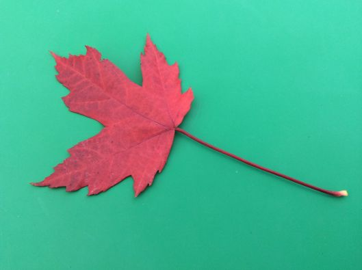 A perfect maple leaf to give us a feeling of home...