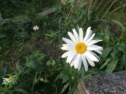 Daisy, Schleinbach