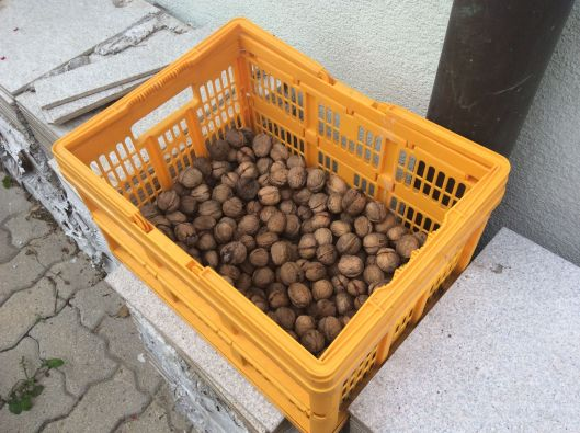 Home-picked walnuts