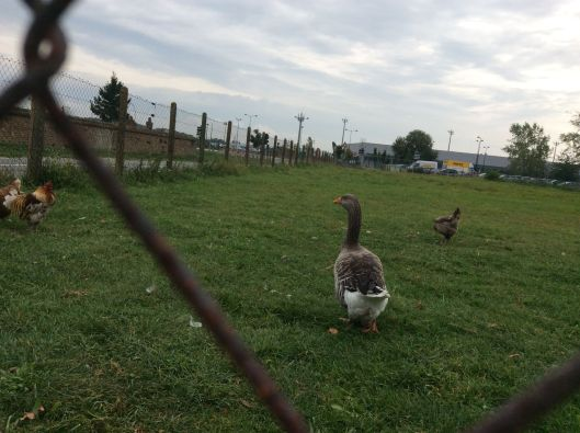 Geese across from Beauvais Airport (Hertz car rental in distance)