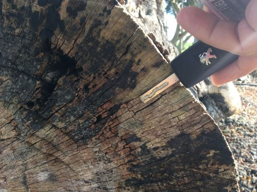 The key represents 25 years of growth on a felled dark hedge tree