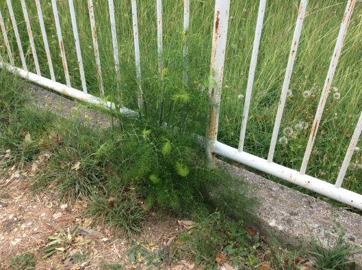 Wild fennel, Balkans
