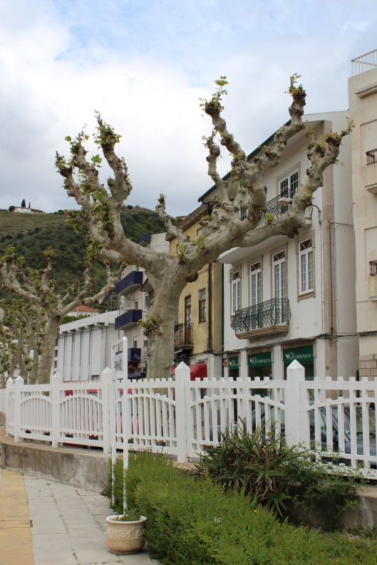I call these arthritic trees.  They can be found from southern France to northern Portugal.