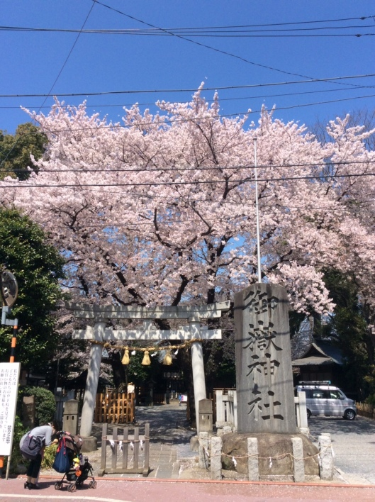 Cherry blossoms in Japan, 2015 (both photos sent to me by Youryuko