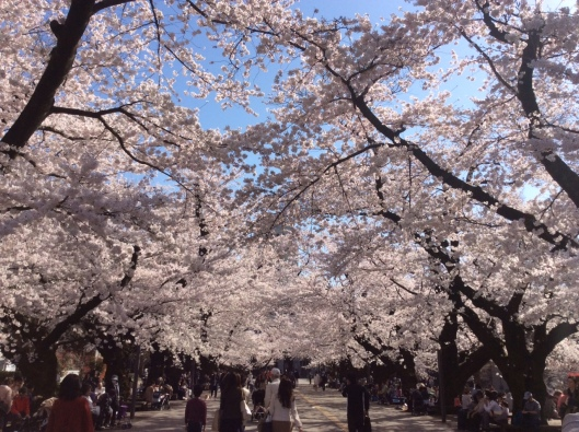 cherry blossoms japan3