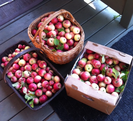 The apples I picked with a friend.