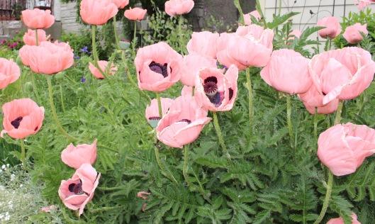 pink poppy2